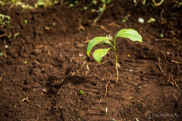 El 29 de agosto del 2017 se realizó la entrega de pilones de Palo Blanco y Teca en las aldeas de Osuna y Los Cimientos en Escuintla, Guatemala. Esta actividad forma parte del proyecto de reforestación deFundación Nuevas Raíces. Los 6,500 árboles de Palo Blanco y Teca fueron donados en colaboración conOne Tree Planted. Mitchell Denburg y Sarah Mann estuvieron presentes como representantes de ambas fundaciones para hablar con los receptores de está donación.  http://www.newrootsfoundation.org http://www.instagram.com/newrootsfoundation https://onetreeplanted.org  Foto: Leonel [nelo] Mijangos www.nelomh.com